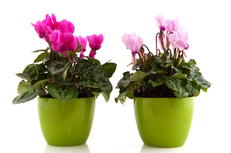 cyclamen flowers pink purple